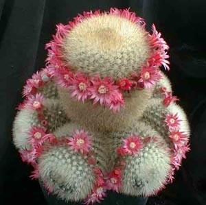Mammillaria2