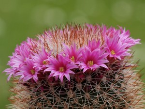 Mammillaria3