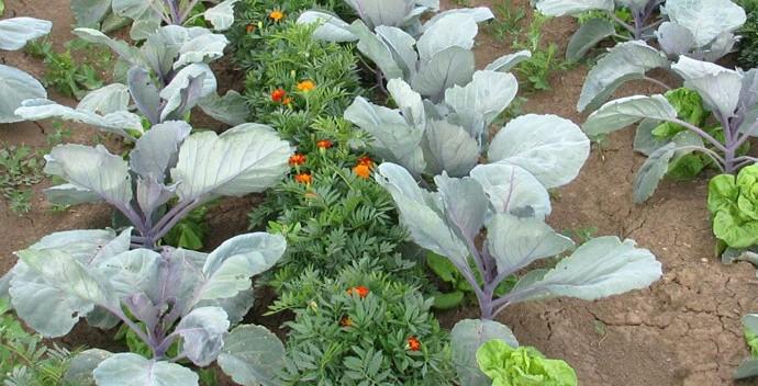növénytársítások