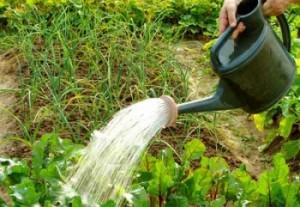 watering2