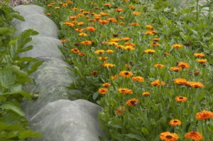 Calendula officinalis 'Indian Prince' (Prince Series) growing at Barnsdale Gardens, Rutland