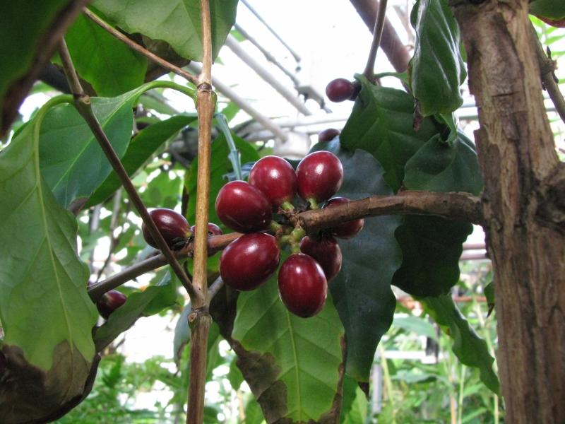 A k v cserje coffea arabica gondoz sa szapor t sa for Coffea arabica