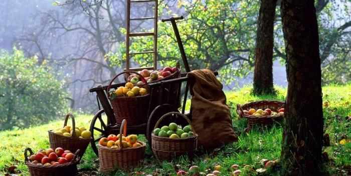 almaszüret