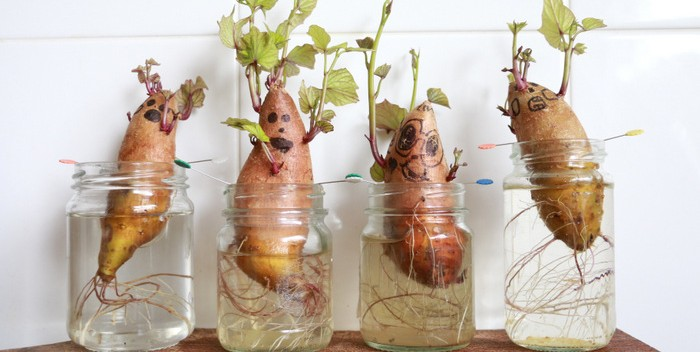 krumpli ültetvény