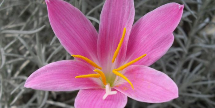 zefírvirág
