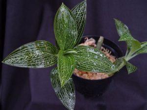 ékszerorchidea