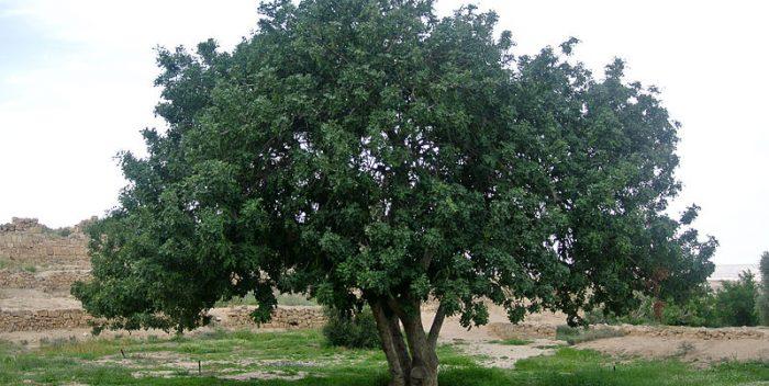 szentjánoskenyérfa