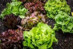 salátafajták