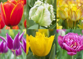 tulipánfajták