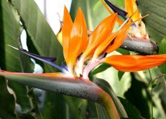 papagájvirág